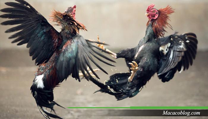 Adu Ayam Online SV388