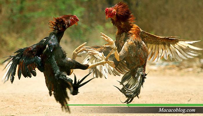 Cara Betting Sabung Ayam Online