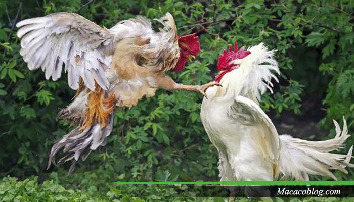 Cara Membedakan Anak Ayam Bangkok