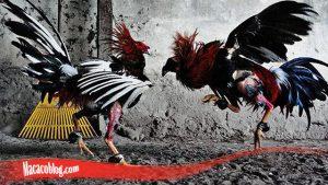 Pasti Sukses Tingkatkan Mental Ayam S128