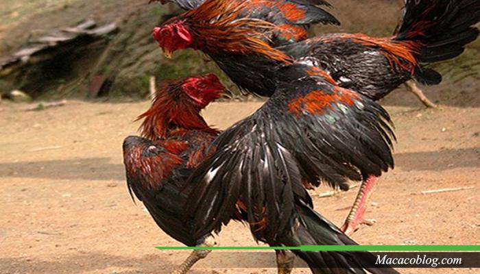 Ragam Ayam Bangkok Thailand