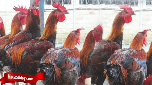 Tidak Sulit Beternak Ayam Tarung Bangkok