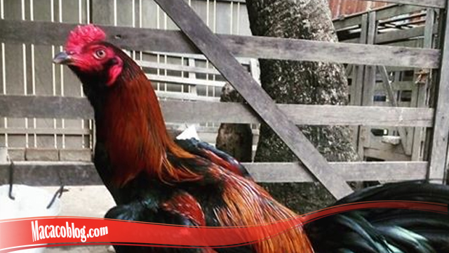 Keunggulan Dari Ayam Brewok S128
